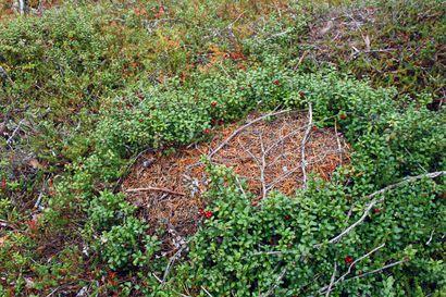 Metsien pienet ahkeroijat hidastuvat talven viettoon – katso tästä kuvia asutuista ja hylätyistä muurahaiskeoista Posion Väätimöntunturin ja Takkutunturin seudulta