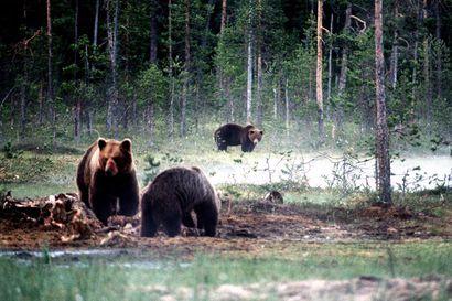 """""""Mene Kuusamoon"""", sanotaan Sallassa haaskakarhuja kyseleville – Karhujen ruokinta opettaa karhukantaa ihmisiin"""