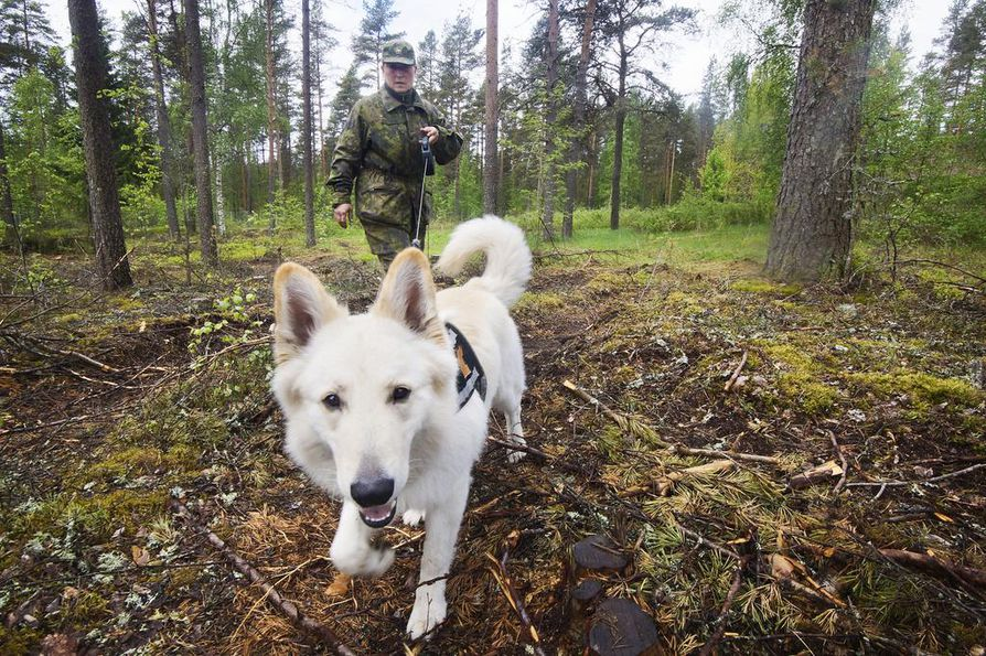 Vaikka Hanna Tenhun Piki-koiralla ei ole sotakoiran asemaa, se tekee arvokasta työtä puolustusvoimille.