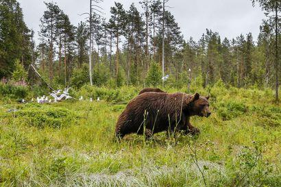 Koillismaalla on saalistettu kaksitoista karhua tänä syksynä: Taivalkoskella kaksi kaatoa, useimmat nallet tavattu Kuusamon itäisessä osassa – katso tästä kaatopaikat kartalla
