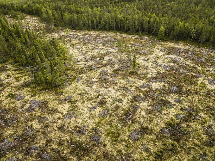 Metsähallitus toteuttaa avohakkuuta noin 18000 hehtaarin alueella. Kuvassa neljä vuotta vanha avohakkuualue Rovaniemen Norvajärveltä.