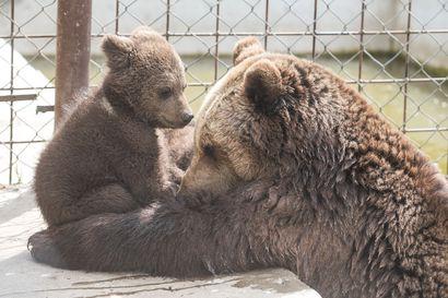 """MTV: """"Varmaan alakaa heti tempomaan makkauksia pois"""" – Sulon karhut haluavat sisustaa talvipesänsä itse"""