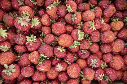 Utajärvellä on pulaa marjanpoimijoista, sillä mansikat ovat kypsyneet jopa kaksi viikkoa etuajassa –suurin osa ulkomaisista poimijoista saapuu vasta viikon päästä