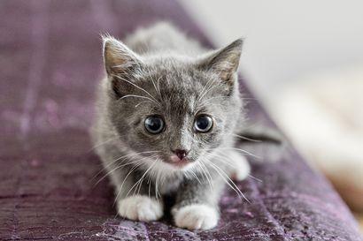 Kissa jäi jumiin seinän sisälle Vaalassa – pelastuslaitos joutui purkamaan osan seinästä