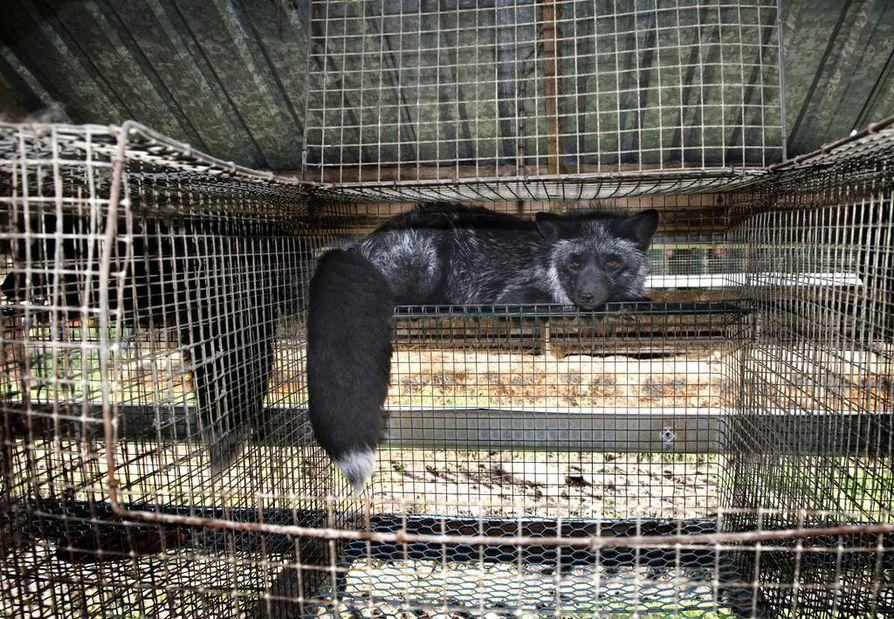 Eläinsuojelulain luonnoksessa tuotantoeläimille esitetään mahdollisuutta lajille tyypilliseen käyttäytymiseen. Arkistokuva.