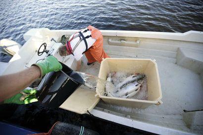 Kysyimme, milloin oululaisten huippuherkkua saa kauppojen kalatiskeiltä – ensimmäiset Perämeren lohet ovat jo ehtineet Oulun kohdalle
