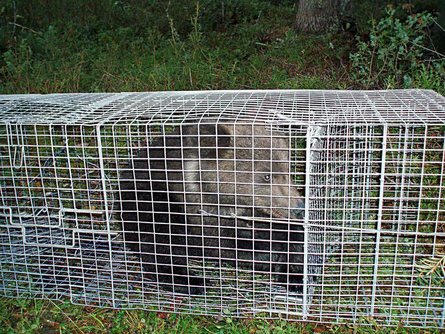 Kettuhäkistä vapautettu karhunpentu löysi takaisin emonsa ja sisaruksensa seuraan.