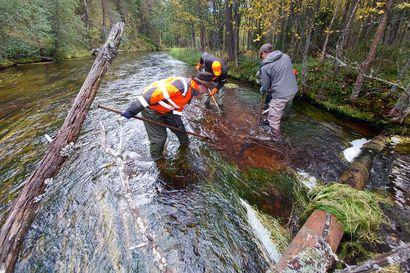 Iijoen purojen kutupaikkoja on kunnostettu tänä kesänä ruotsalaisin keinoin