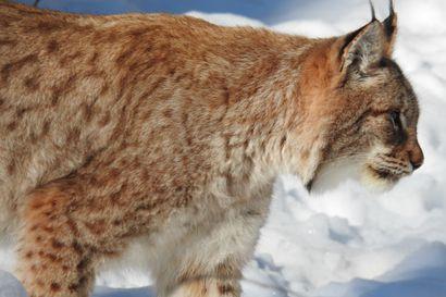 Ilveksen metsästys alkaa lokakuun alussa – poronhoitoalueelle seitsemän lupaa