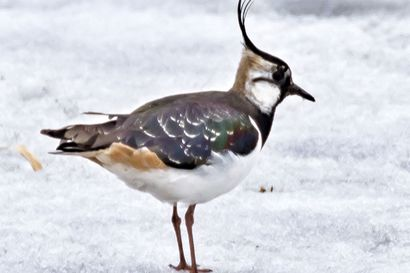 Kalevan kevätseuranta:  Ensimmäiset haarapääskyt saapuivat – lintuja nähty Muhoksella, Hailuodossa, Pyhäjoella ja Siikajoella