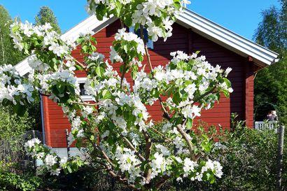 Napapiirin ryhmäpuutarhalla tapahtuu: Omenapuut kukkivat valloittavasti – niitäkin voi ihailla sunnuntaina Avoimet puutarhat -tapahtumassa