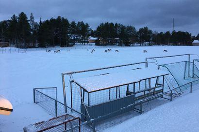"""Porot valtasivat urheilukentän Posiolla – Poroisäntä: """"Ongelma pyritään ratkaisemaan sulkemalla kentän aidan aukko kevytverkolla"""""""