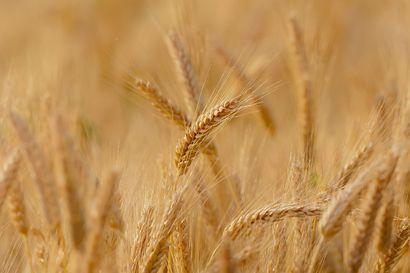 Ilmastonmuutoksen myötä voi leipävilja palata Koillismaalle kymmenessä vuodessa – viljat hyötyvät valoisista öistä muiden heinäkasvien tapaan
