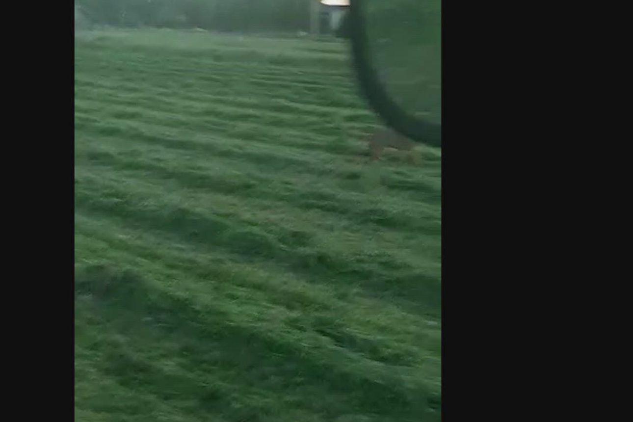 Lukijan video: Susi pellolla kesäyönä