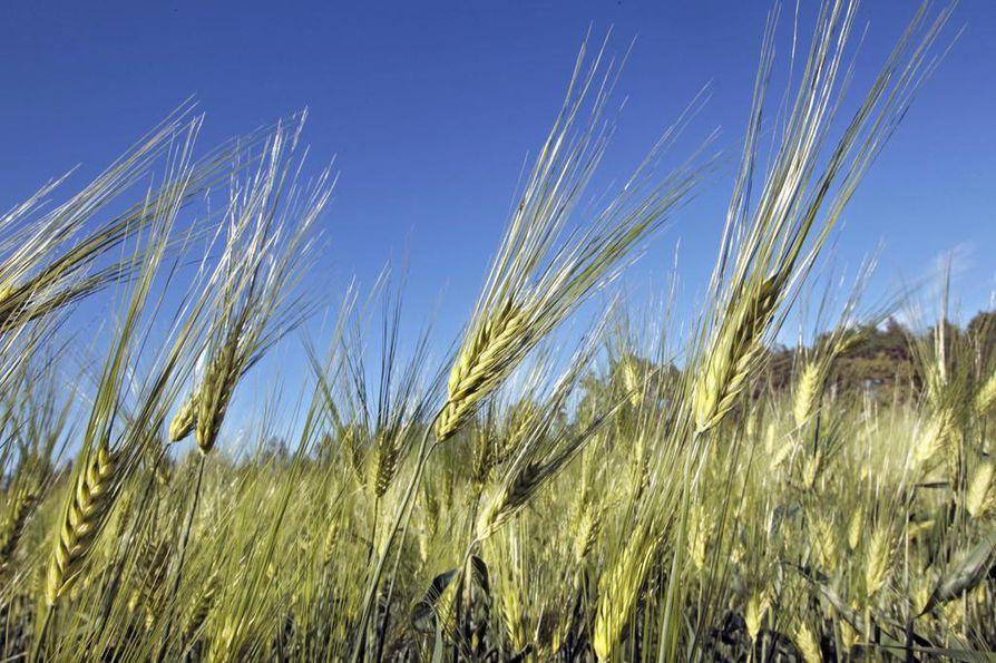 Kirvat aiheuttivat mittavat tulot viljapelloilla viime kesänä.