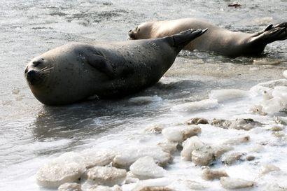 Biologit selvittävät hylkeiden joukkokuolemia Alaskassa