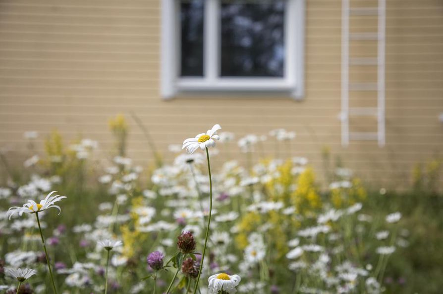 Kiviniemessä sijaitsevan talon pihalla niittykasvien toivotaan viihtyvän.