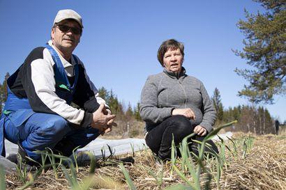 Maatilan kumppani ostaa sadon jo keväällä – malli jakaa riskiä ja lupaa kuluttajalle sopivalla tavalla tuotettua ruokaa