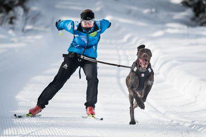 Petäjäskosken ja Kalliokankaan hiihtoladuilla sallitaan koiran kanssa hiihtäminen: Huippunopeus voi nousta jopa 40 kilometriin tunnissa