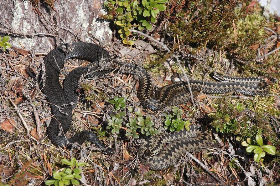 kyykäärme, käärmeet, kyy, kevät