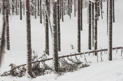 """Metsänomistaja: """"Kun ei ole routaa, niin puita kaatuu juurineen"""" – Tykkylumi katkoo jo """"sullipetäjiä"""""""