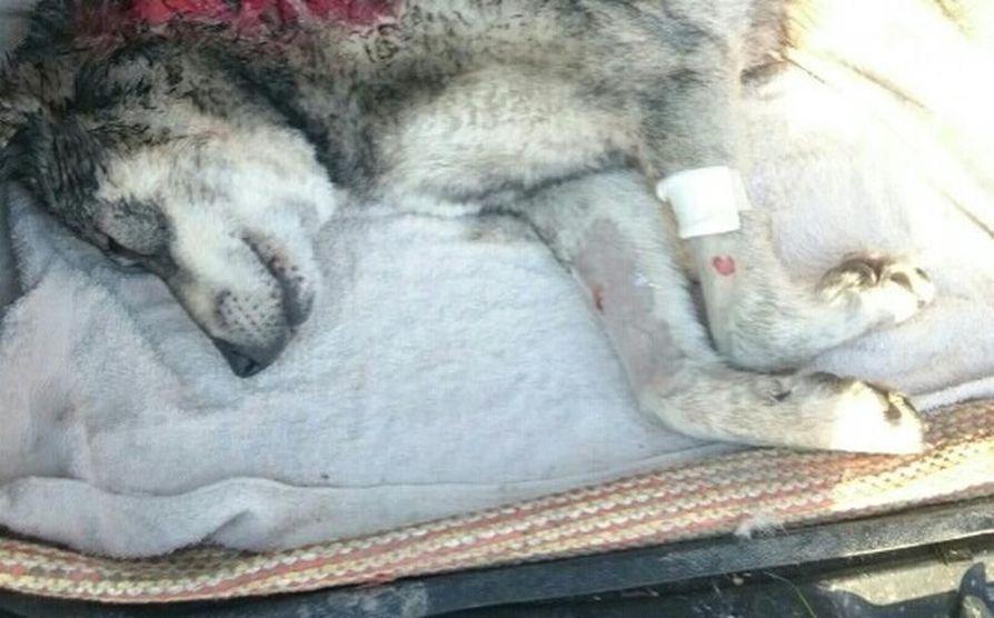 Jämtlanninpystykorva Cini kuoli kesken hirvijahdin sunnuntaina. Ihmiset olivat vain muutaman sadan metrin päässä koirasta.
