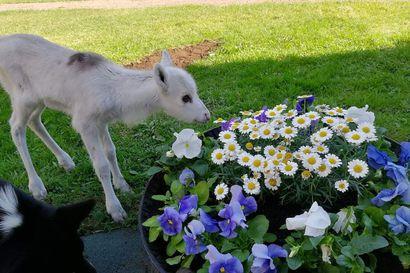 """Lemmikiksi otettu poronvasa Einokki viettää päivänsä  sisällä – """"Poron elämäntyylin oppii tuntemaan, kun poroja ruokkii ja kasvattaa"""""""
