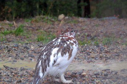 Riekkokanta kasvoi Lapissa – Lintu näyttäisi toipuneen muutaman vuoden takaisesta aallonpohjasta