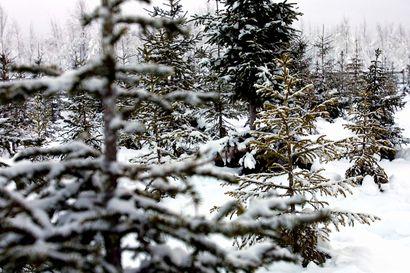 Joulukuuset kerätään hyötykäyttöön Rovaniemellä – Keräys jatkuu tammikuun puoliväliin saakka