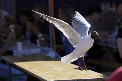 """Miten lokeista voi oppia pitämään? Lokkitutkija: """"Useat linnut ovat älykkäitä, me ihmiset emme sitä älyä vain aina ymmärrä"""""""