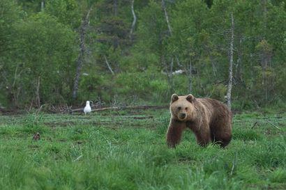 Mesikämmen kömpi vastaan – toimittaja kohtasi karhun