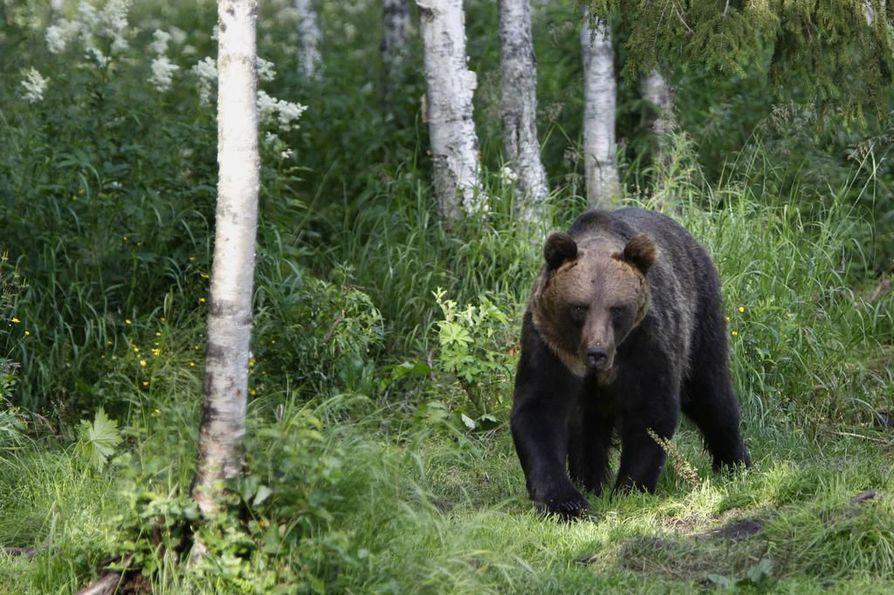 Karhunmetsästys on käynnistynyt tänään, ja vesilintujen metsästys alkaa tänään puolenpäivän aikaan. Tämä karhu on kuvattu Kuhmossa Kiekikosken maastossa katselukojusta.