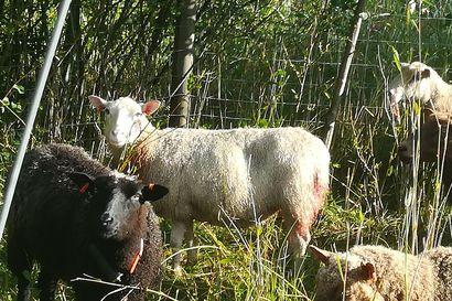 """24  lammasta raadeltiin Kalajoella –  """"Susista ei ole ollut näin rannikolta havaintoja aikaisemmin"""""""