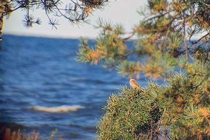Hailuodosta löytynyt Suomelle uusi lintulaji aiheutti yleisöryntäyksen – Saana Meski seurasi mökkinsä ikkunasta merikotkaa, kun kiikariin osui siperianlepinkäinen