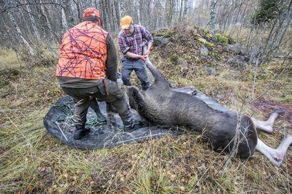 Lauantaina alkaa hirvenmetsästys–millainen kaudesta on tänä syksynä tulossa