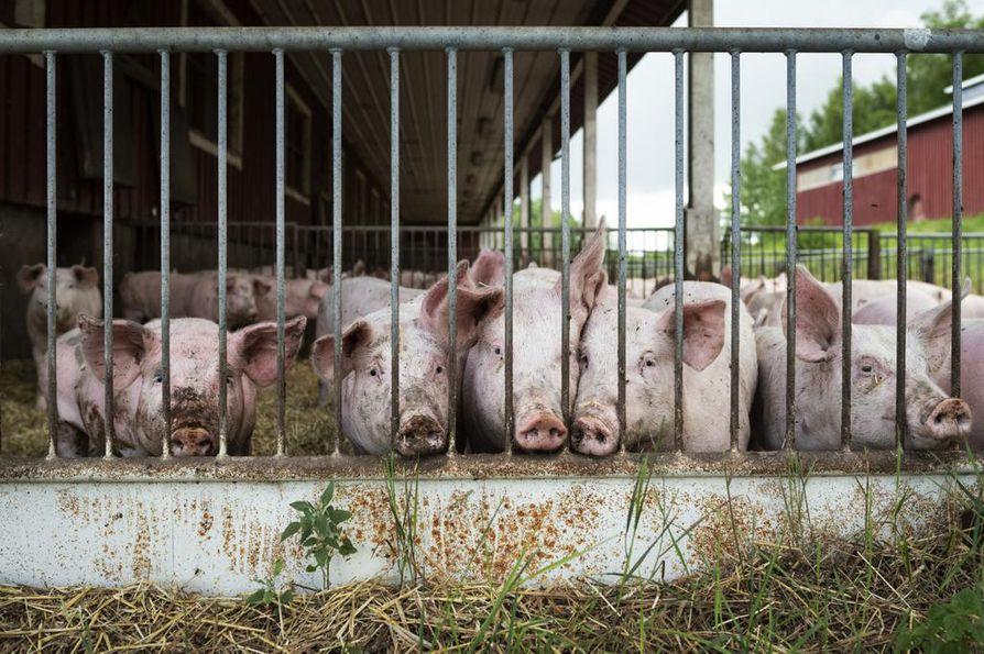 Jos afrikkalainen sikarutto tarttuu kesysikaan, kaikki tilan siat tulee tappaa ja ruhot hävittää.  Arkistokuva.