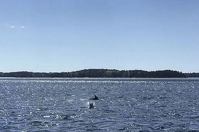 """Suomen aluevesillä on havaittu pullokuonodelfiinejä, eläin nähty Suomessa viimeksi 70 vuotta sitten – """"Se oli aivan mahtava kokemus"""""""