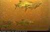 Merikosken kalatiellä onnäkynyt myös lahnoja.