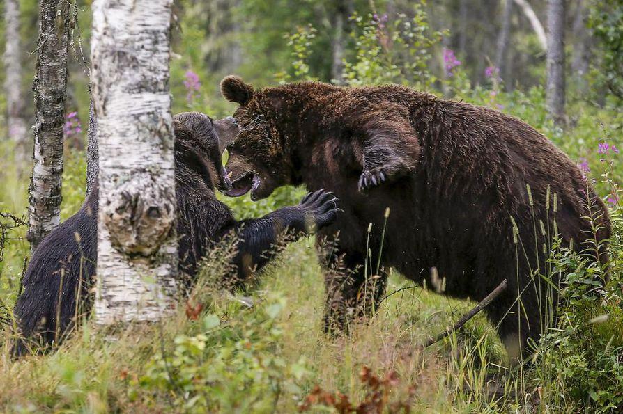 Haaskakuvapalvelujen alueiden petomäärän kasvu on aiheuttanut Tukesissa huolta luontopolkujen käyttäjien ja asukkaiden turvallisuudesta.