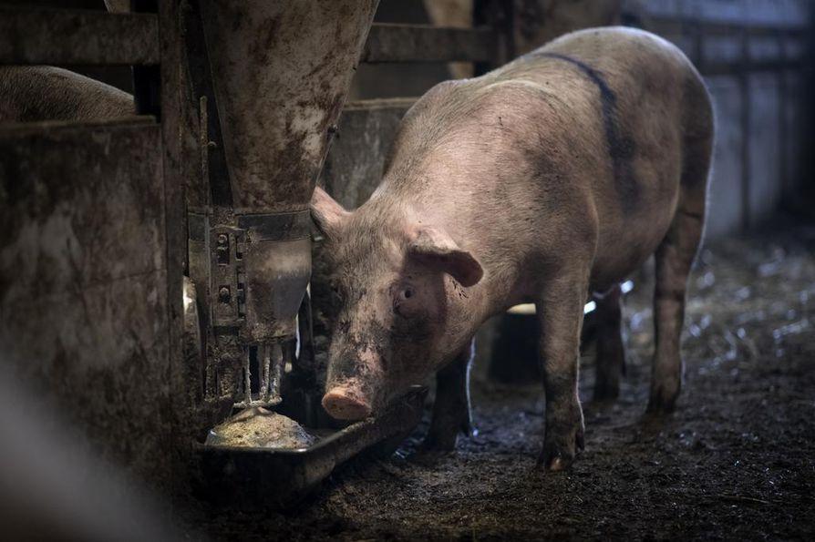 Hilla-possu on kasvanut kovasti sitten viime näkemän. Heinäkuussa se painoi noin 40 kiloa, mutta nyt varressa on massaa jo 70 kiloa. Jälleen on välipalan aika.