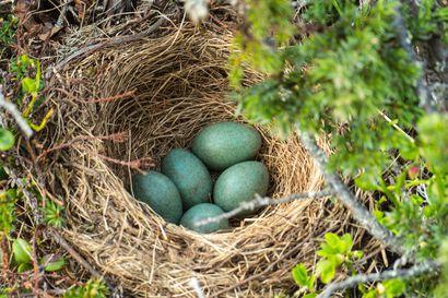 Tekstarit: Linnut ansaitsevat pesintärauhan