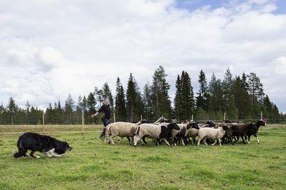 """""""Se on rikos, jos et rupea kouluttamaan"""", sanoi ystävä Mari Pajulle – Nyt Posiolla on Pohjois-Suomen ainoa tila, jossa voi harjoitella lampaiden lisäksi nautojen paimennusta"""