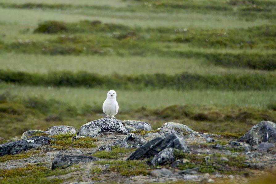 Metsähallituksen puistomestari Petteri Polojärvi kuvasi harvinaisen tunturipöllön Kaldoaivin erämaassa Utsjoella kesällä 2015.