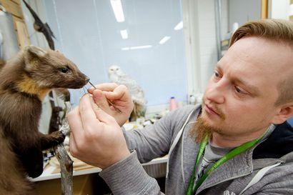 Jaakko Tauriaisen käsissä eläimet saavat uuden elämän jalustalla – Tietomaan uusi luontonäyttely pitää konservaattorin kiireisenä