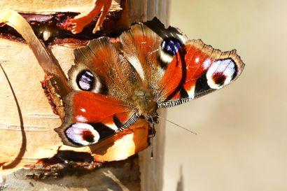 Kalevan kevätseuranta: Neitoperhonen yleistyy – laji on levinnyt jo Perämeren pohjukkaan asti