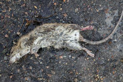 Rottia liikkeellä Raahessa – ei kuitenkaan iso invaasio