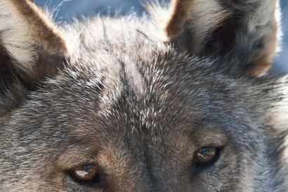 """Ruotsista ehkä vetoapua suden metsästykseen –Ministeri Leppä: """"Metsästyksen avulla pidetään susikanta ihmisarkana"""""""