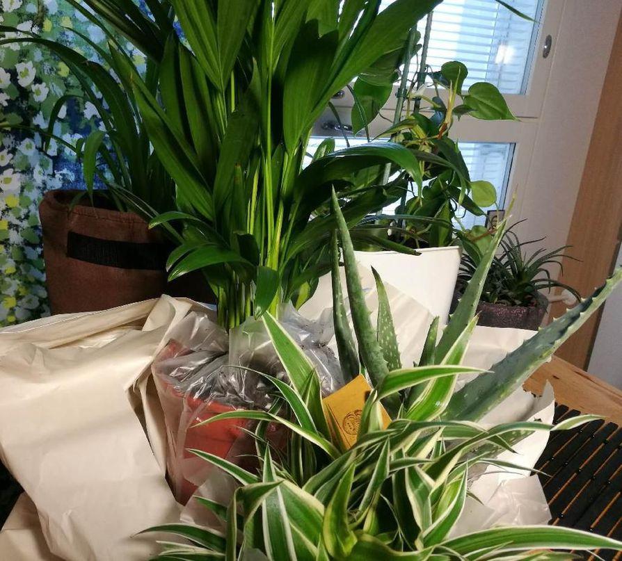 Erityisesti ilmaa puhdistavia kasveja tilattiin kotiin nettikaupasta. Kultapalmu, rönsylilja traakkipuu, kultaköynnös ja aloe vera ovat tuttuja huonekasveja.