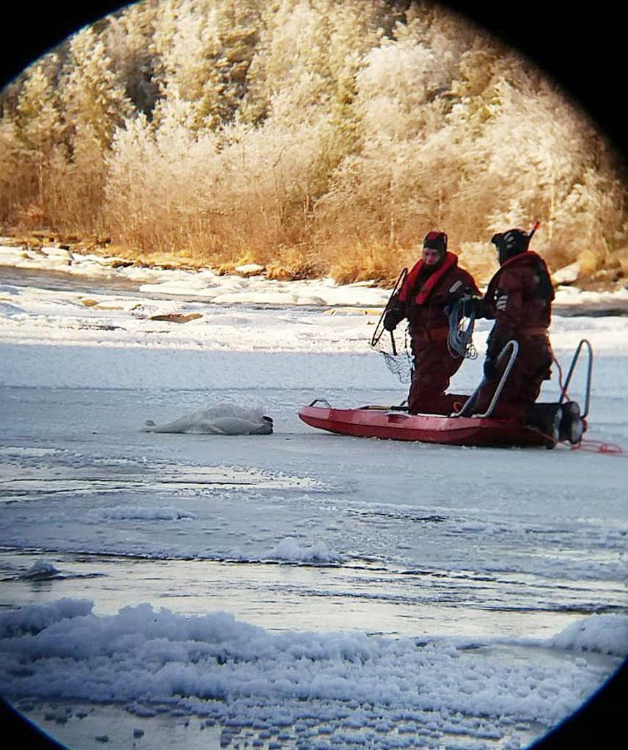 Joutsen ei päässyt liikkeelle jäältä. Siihen oli jäätynyt kiinni iso jääpala, jonka pintapelastajat saivat irrotettua.