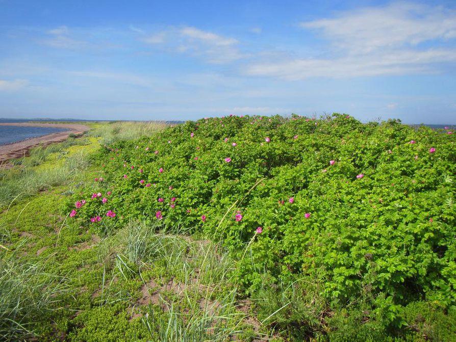 Kurtturuusun rannikkokasviluonne näkyy Itämerellä valitettavan hyvin. Se on voittamaton kilpailija erityisesti hiekkaisilla saarilla ja rannoilla. Örskärsören Paraisten Korppoossa.